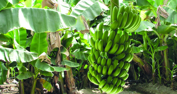 «الثروة الزراعية والسمكية وموارد المياه»: ١٨.٤ ألف طن كميات الموز المحلي المتوقع إنتاجها خلال العام الحالي