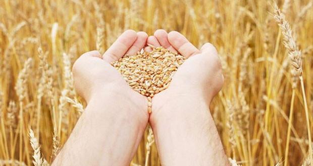 132% ارتفاعا بإنتاج القمح في السلطنة