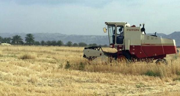 عبري الأكثر إنتاجا لمحصول القمح على مستوى ولايات السلطنة