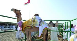الهجانة السلطانية تعلن برنامج مسابقة المزاينة بميدان الفليج بولاية بركاء