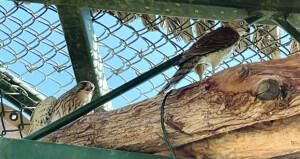 مركز توليد الحيوانات البرية يستقبل عددا من الجوارح المصابة