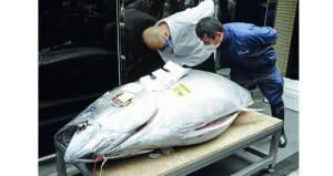 بيع سمكة تونة بأكثر من 200 ألف دولار فـي اليابان