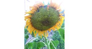 دوار الشمس تضفي رونقا مميزا بالحقول والبيوت
