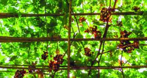 تطوير زراعة وإنتاج العنب في السلطنة