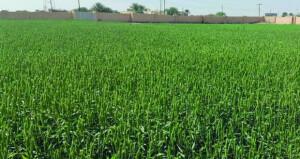 عبري تسجل أكبر إنتاج من محصول القمح على مستوى السلطنة
