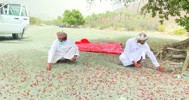 لزراعة «10» ملايين شجرة.. جمع بذور الأشجار والنباتات العمانية