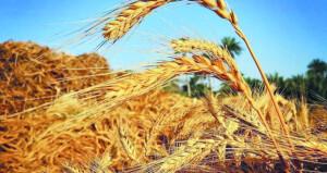 حصاد 7.5 طن من القمح بالكامل والوافـي وجعلان بني بوحسن