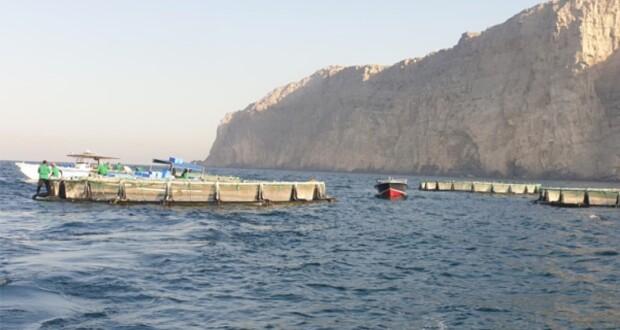مشروع استزراع الأسماك الزعنفية يبدأ الحصاد