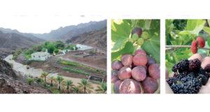 «الجرولة» واحة زراعية بين أحضان وادي قفيفة وسلاسل الجبال