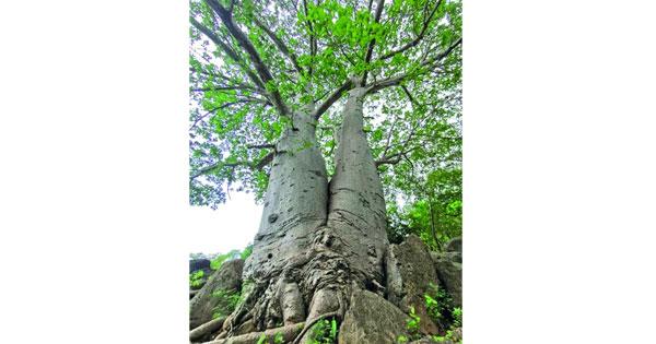 إنقاذ أشجار التبلدي العملاقة بمحافظة ظفار