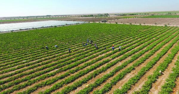 نجد الزراعية.. سلة غذائية تحتاج إلى تنظيم