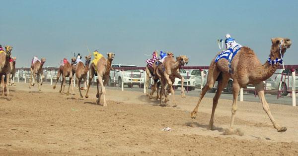 الهجانة السلطانية تعلن عن أشواط السباق الأول بمضمار البشائر بأدم