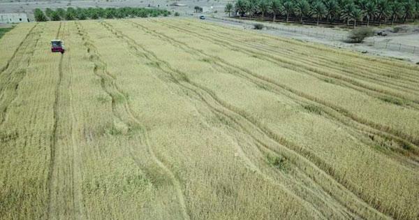 19% ارتفاعا فـي إنتاج القمح بالسلطنة خلال الموسم الزراعي 2020 / 2021