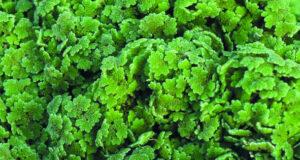 نبات الأزولا .. لتنظيف مياه الصرف الصحي والحد من تغير المناخ