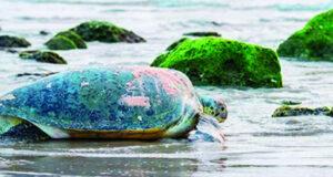 «تارتل كوماندوز».. برنامج لحماية ورصد السلاحف البحرية