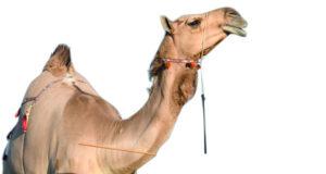 الاتحاد العماني لسباقات الهجن يعلن برنامج مهرجان المزاينة بمحافظة جنوب الباطنة بميدان طوى الشاوي