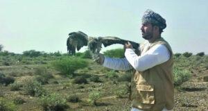 العثور على طائر «النسر المخطط» مصاب بشمال الباطنة