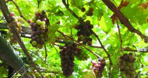 بدء قطاف وتسويق ثمار العنب المحلي بعبري